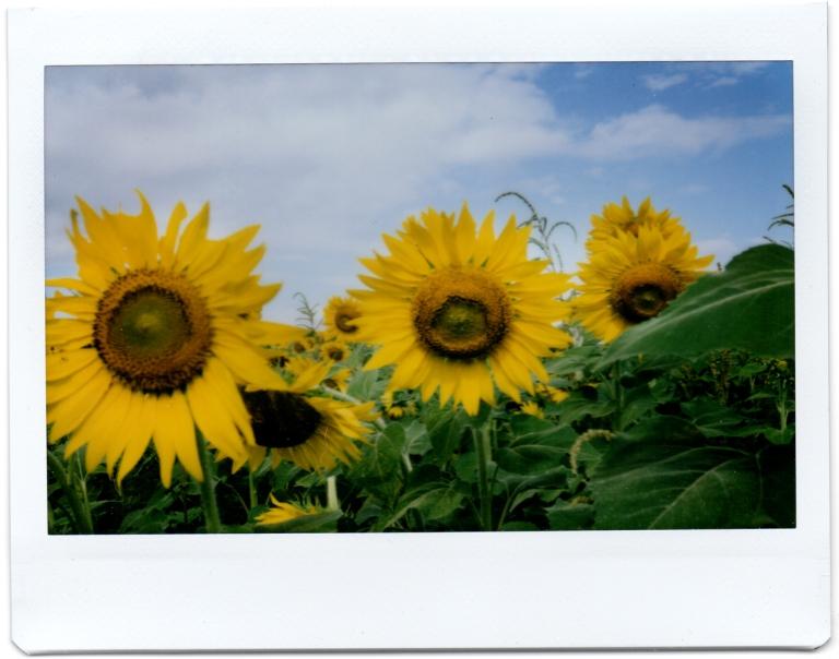 Us Sunflowers II
